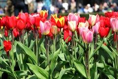 Campos del tulipán de Holanda Imagen de archivo libre de regalías