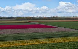 Campos del tulipán en los Países Bajos Fotografía de archivo