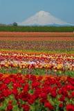 Campos del tulipán, montaña nevada Imagen de archivo libre de regalías
