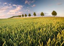 Campos del verano, campos de maduración de la cosecha de grano Imagen de archivo
