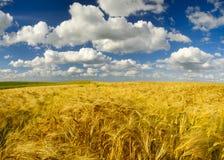 Campos del verano, campos de maduración de la cosecha de grano Imágenes de archivo libres de regalías
