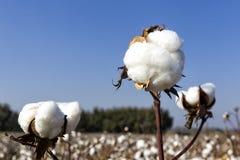 Campos do algodão Foto de Stock Royalty Free