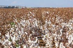campos do algodão Imagens de Stock