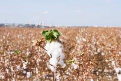 campos do algodão Imagem de Stock Royalty Free