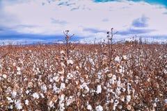 campos do algodão fotos de stock