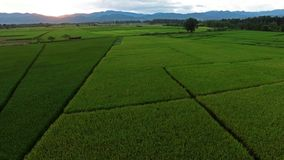 Campos do arroz video estoque