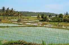 Campos do arroz Imagem de Stock