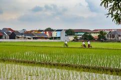 Campos do arroz imagens de stock