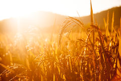 Campos do arroz Imagem de Stock Royalty Free