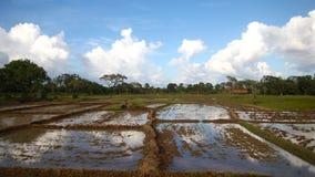 Campos do arroz Imagens de Stock Royalty Free