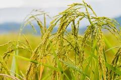 Campos do arroz Fotografia de Stock Royalty Free