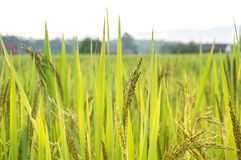 Campos do arroz Fotografia de Stock
