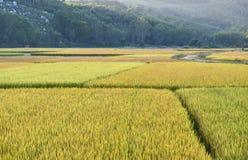 Campos do arroz Fotografia de Stock