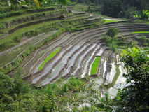 Campos do arroz Fotos de Stock Royalty Free