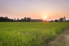 Campos do arroz antes do por do sol Imagens de Stock Royalty Free