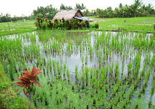 Campos do arroz de Bali com casa do fazendeiro imagem de stock
