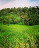 Campos do arroz de Campuhan, Ubud fotografia de stock