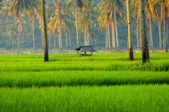 Campos do arroz de Java fotografia de stock
