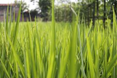 Campos do arroz de Padi foto de stock