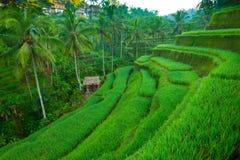 Campos do arroz do terraço na ilha de Bali imagens de stock royalty free