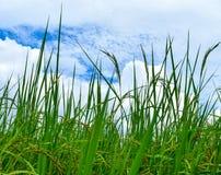 Campos do arroz e o céu azul bonito Imagens de Stock