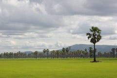 Campos do arroz e palma de açúcar Fotografia de Stock Royalty Free