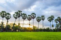 Campos do arroz e palmeira do açúcar imagens de stock