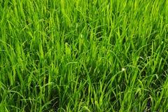 Campos do arroz em Banguecoque, Tailândia Foto de Stock