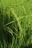 Campos do arroz em Tailândia Foto de Stock Royalty Free