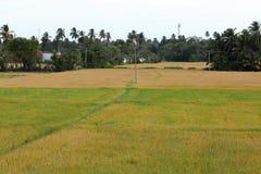 Campos do arroz em Tissamaharama em Sri Lanka foto de stock
