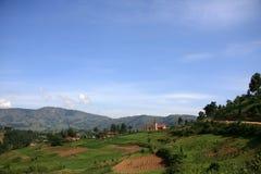Campos do arroz em Uganda, África Foto de Stock