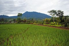 Campos do arroz, Java Indonesia ocidental fotografia de stock