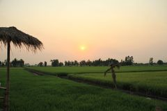 Campos do arroz na noite fotografia de stock