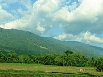 Campos do arroz na regência de SIGI, Indonésia foto de stock royalty free