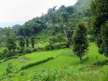 Campos do arroz, Nepal Imagem de Stock