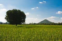 Campos do arroz 'paddy' Fotografia de Stock Royalty Free