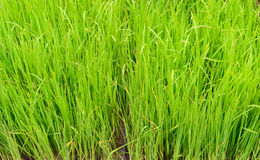 Campos do arroz 'paddy' Imagem de Stock