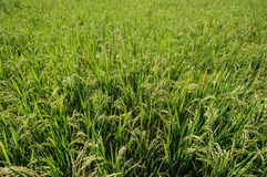 Campos do arroz 'paddy', fim acima Fotos de Stock Royalty Free