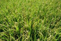 Campos do arroz 'paddy', fim acima Imagem de Stock