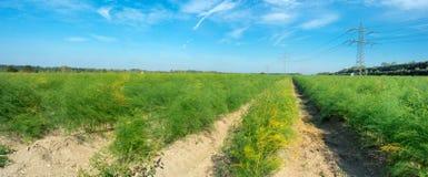 campos do aspargo Imagem de Stock