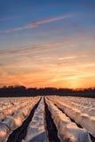 campos do aspargo Imagem de Stock Royalty Free