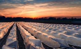 campos do aspargo Foto de Stock Royalty Free