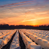campos do aspargo fotografia de stock royalty free