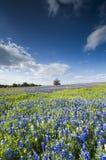 Campos do Bluebonnet em Palmer, TX imagem de stock