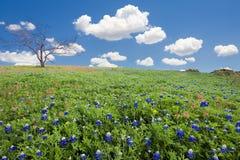 Campos do Bluebonnet em Texas fotografia de stock royalty free