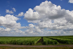 Campos do cana-de-açúcar Foto de Stock Royalty Free
