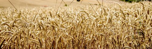 Campos do cereal, cevada Fundo fotos de stock royalty free