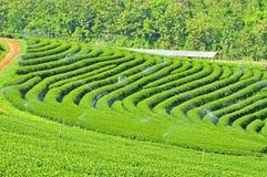 Campos do chá Imagem de Stock