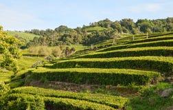 Campos do chá Açores, Portugal Fotografia de Stock