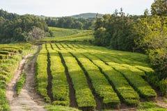 Campos do chá, Açores, Portugal Imagens de Stock Royalty Free